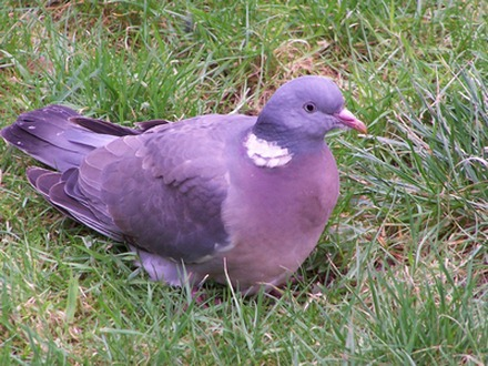 pigeony[1]